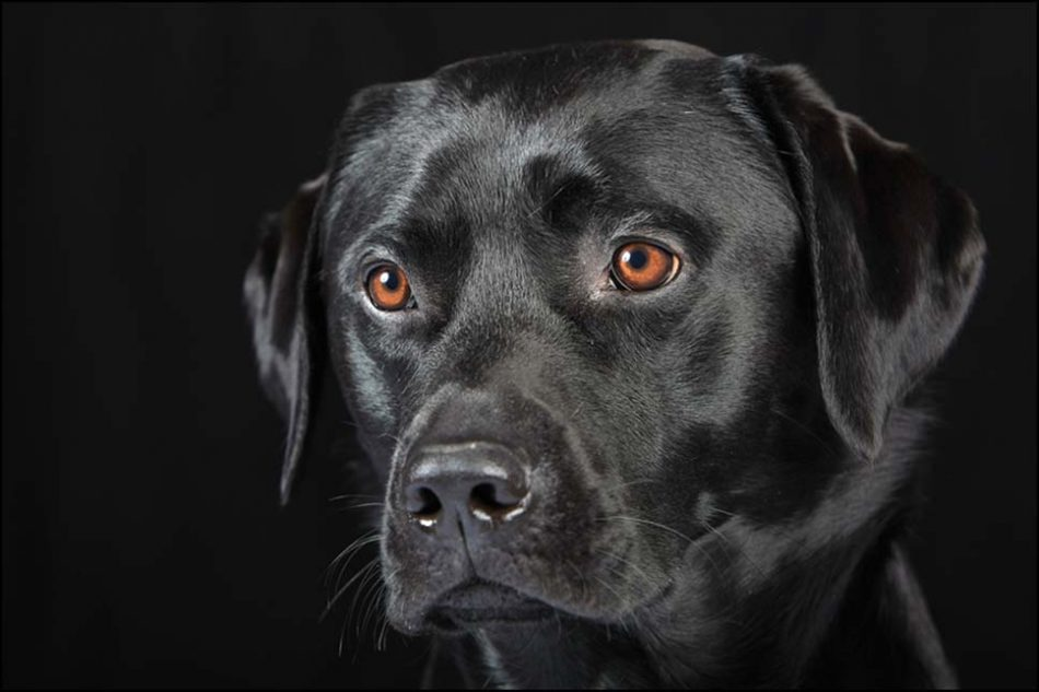 low-key studio portrait of a black Labrador dog against a black background